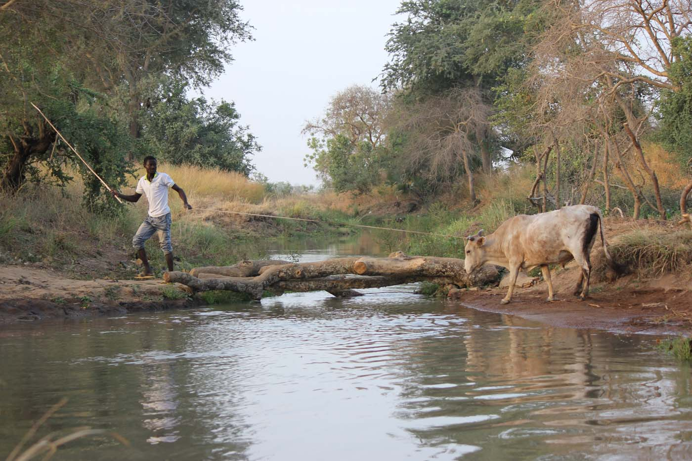 Leading a stubborn cow to cross takes persistence